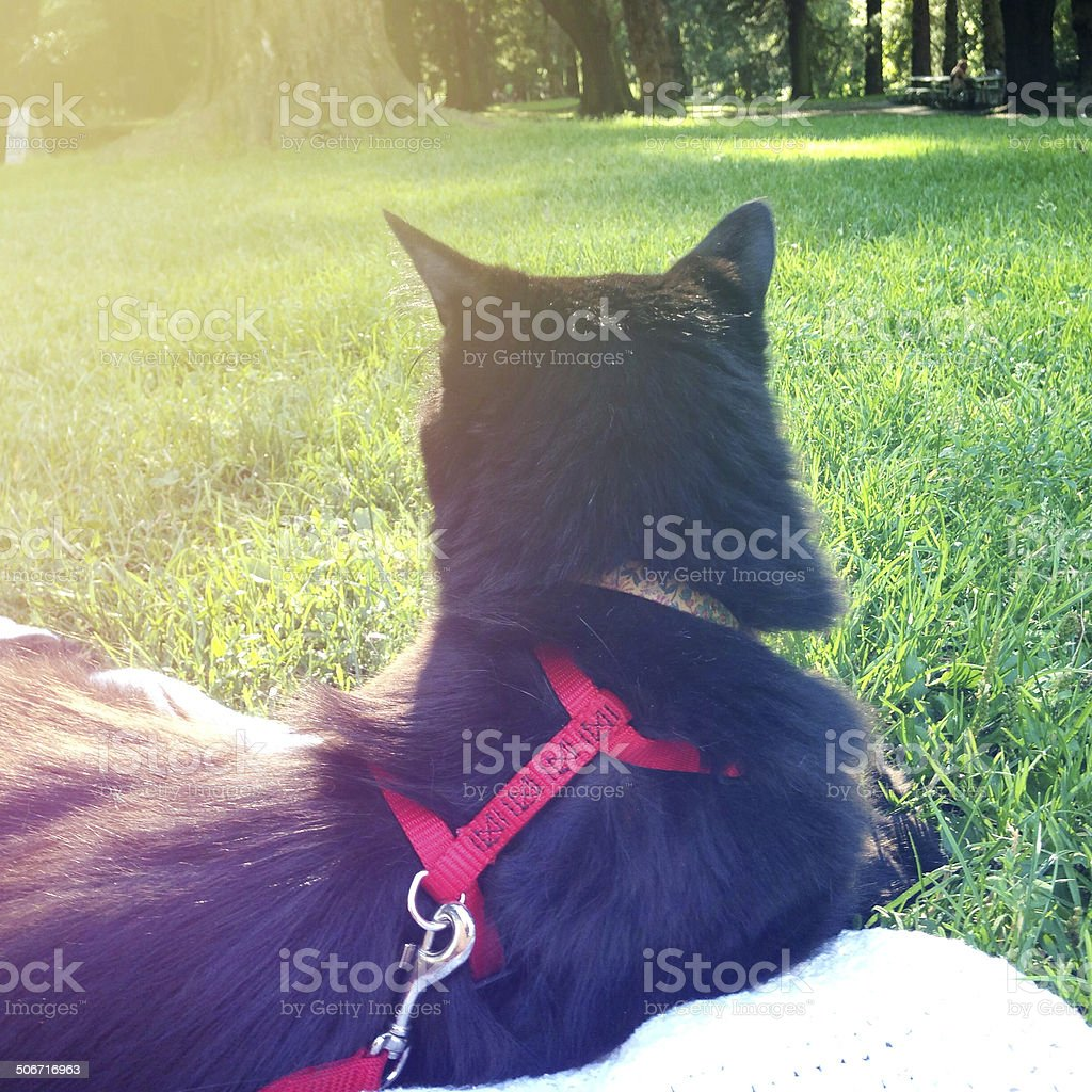 Cat with harness and leash stock photo