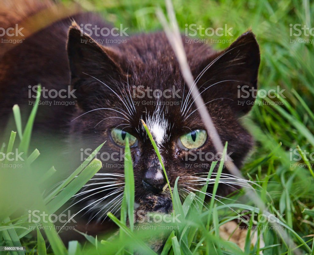 Cat with intense predator eyes hidden in the grass stock photo