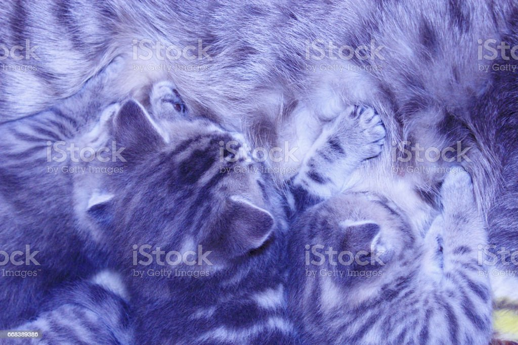 cat with kittens of Scottish Straight breed stock photo