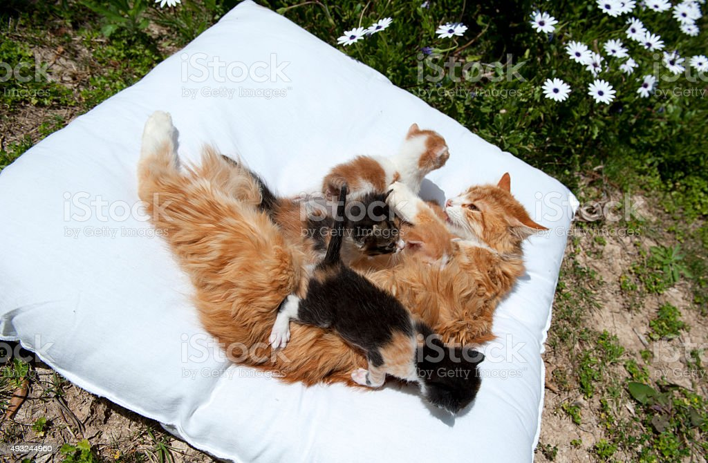 Cat with kittens on white pillow stock photo