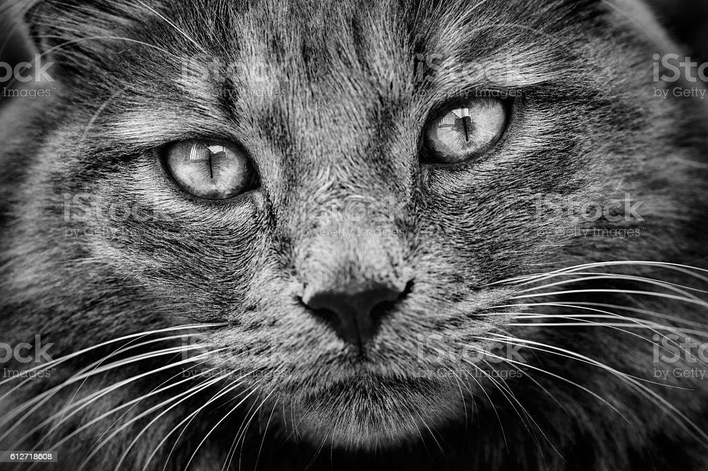 Cat with languid gaze stock photo