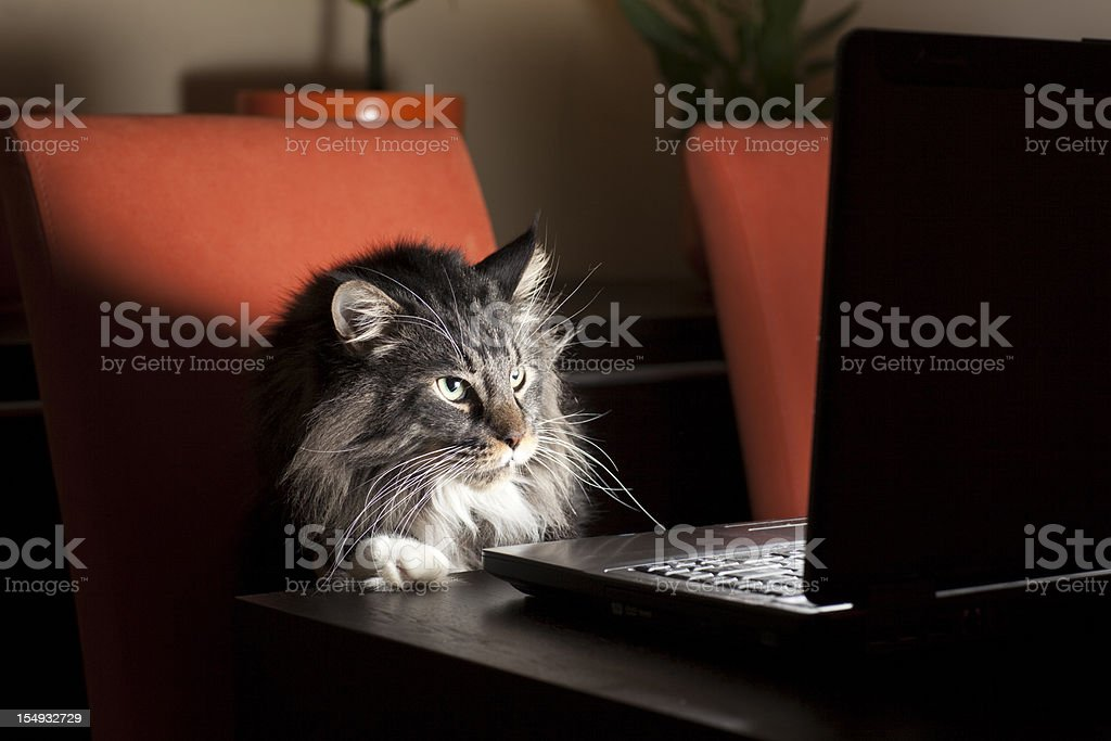 Cat With Laptop stock photo