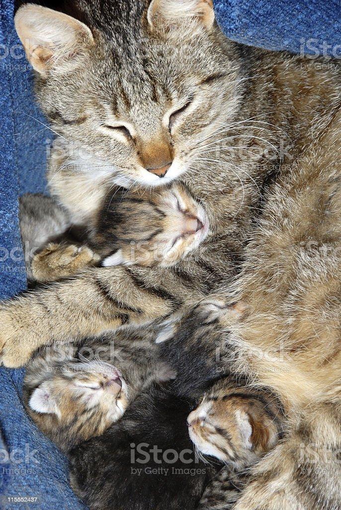 Cat with newborn kitten royalty-free stock photo
