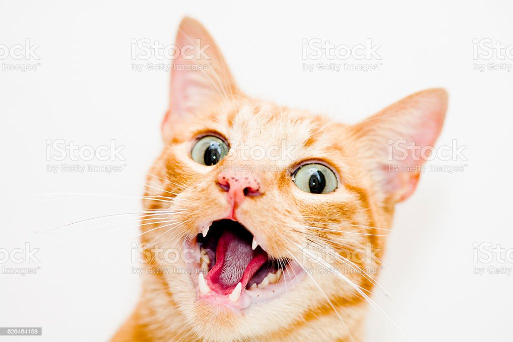 Cat with open mouth stock photo