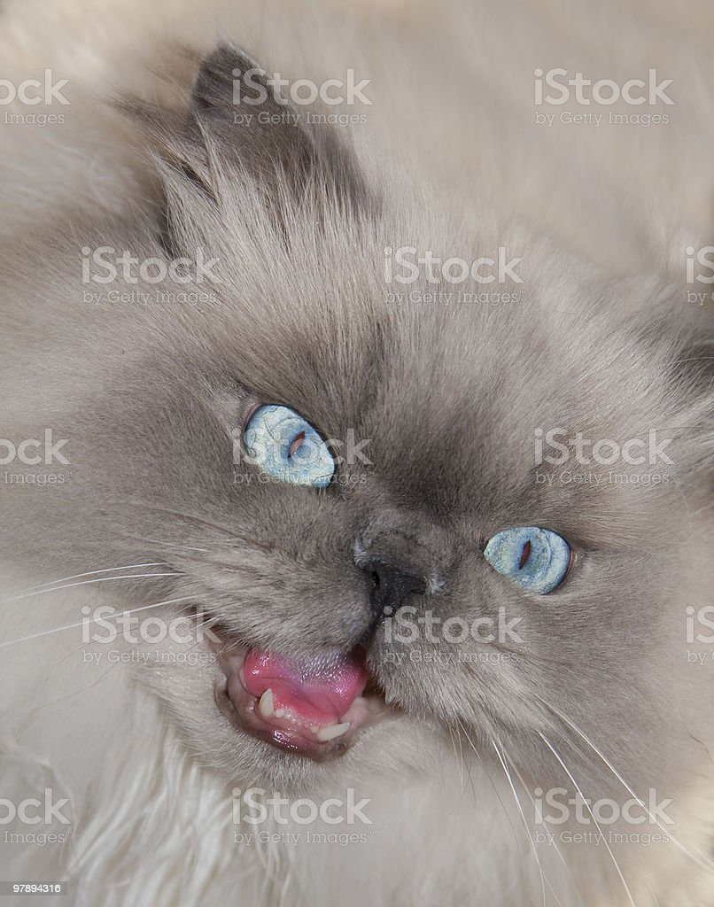 cat with open mouth royalty-free stock photo