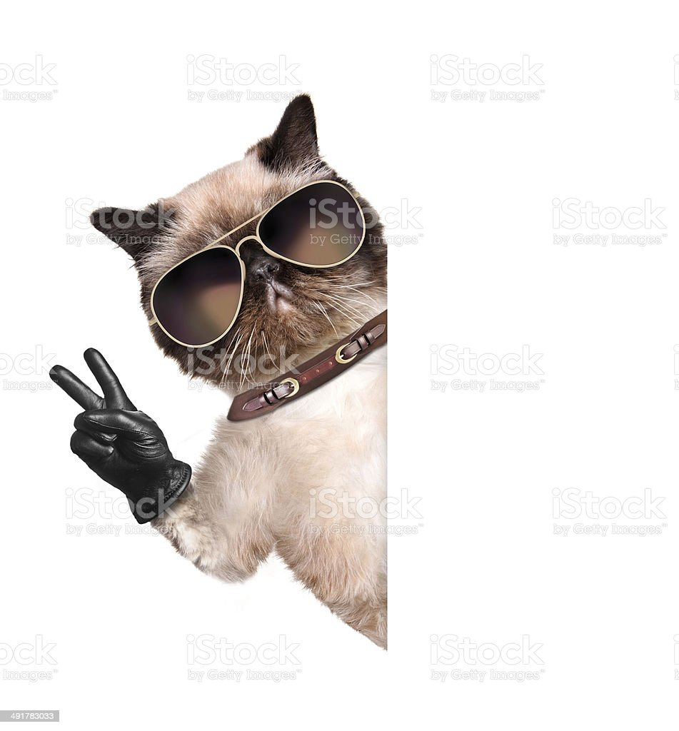 cat with peace fingers in black leather gloves stock photo