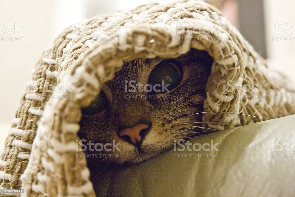 Cat with pink nose peaking out from under a blanket royalty-free stock photo