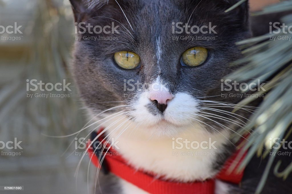 Cat with red collar stock photo