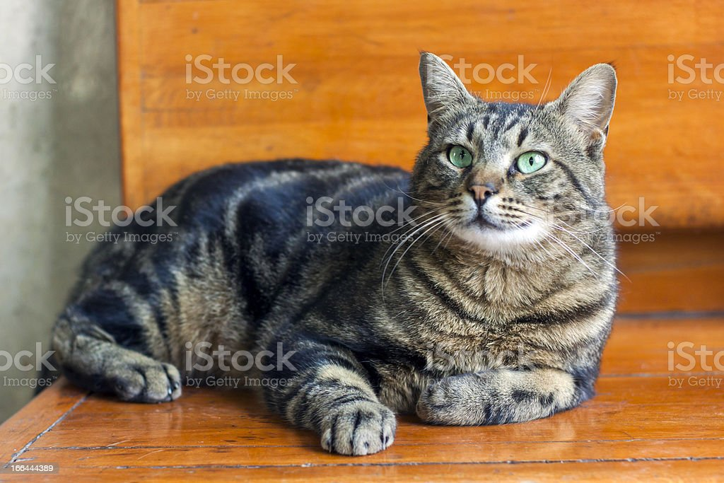 Cat with Turqoise Eyes royalty-free stock photo
