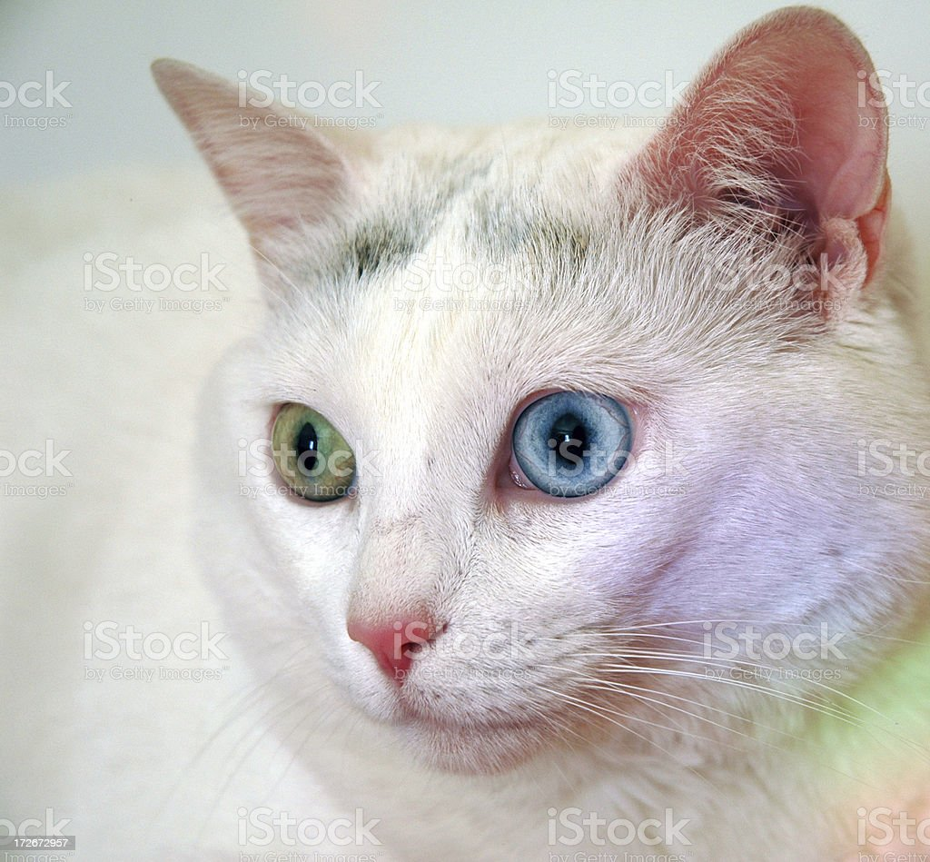 Cat With Unmatched Eyes royalty-free stock photo