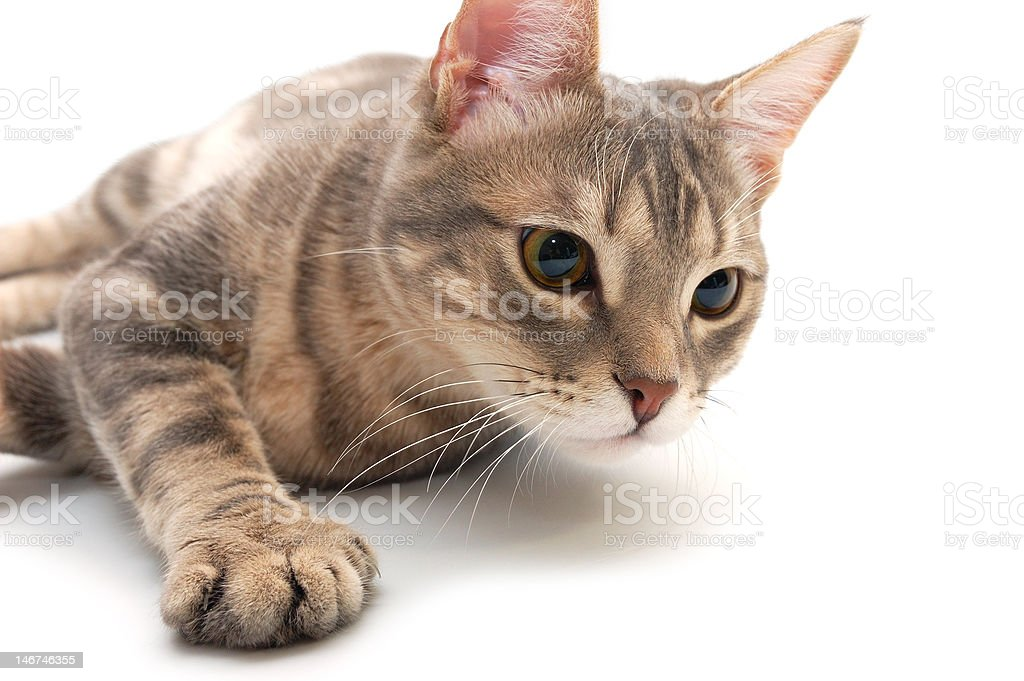 Cat with very concerned look royalty-free stock photo