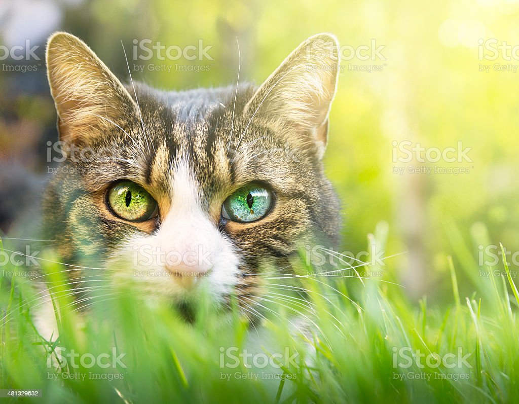 Cat with white markings and colored eyes in grass garden stock photo