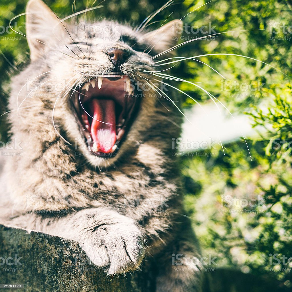 Cat yawn. stock photo