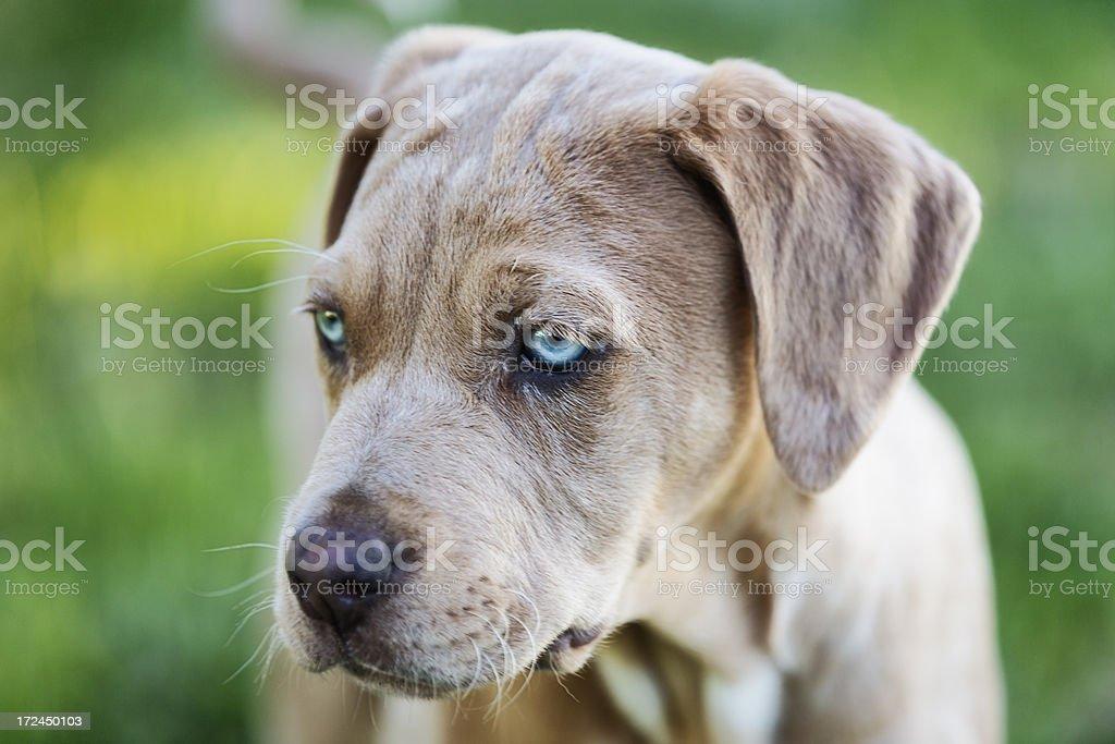 Catahoula Puppy royalty-free stock photo