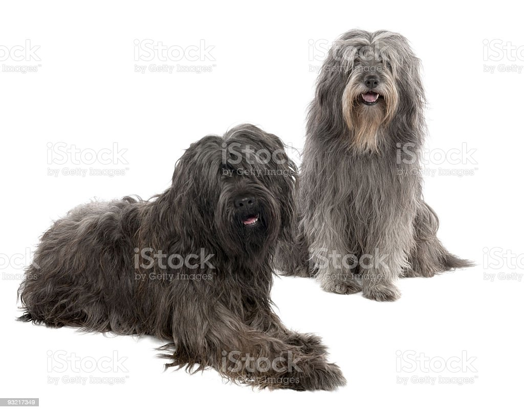 Catalan Sheepdog (6 and 3 years old) stock photo