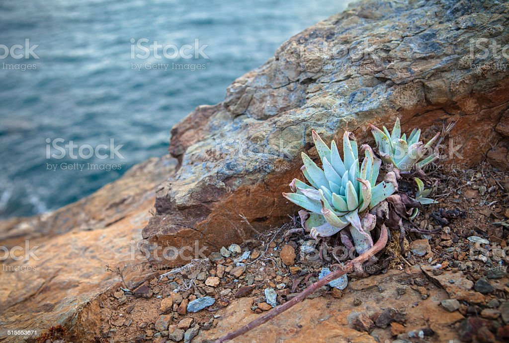 Catalina liveforever succulant growing on Catalina Island, California royalty-free stock photo