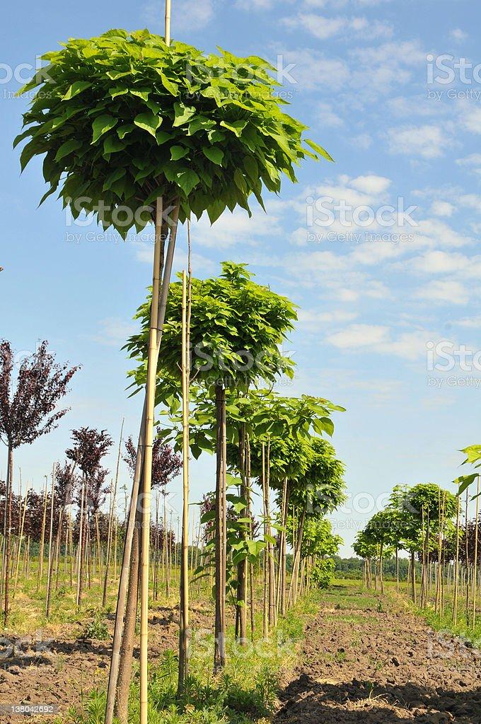 catalpa rows royalty-free stock photo