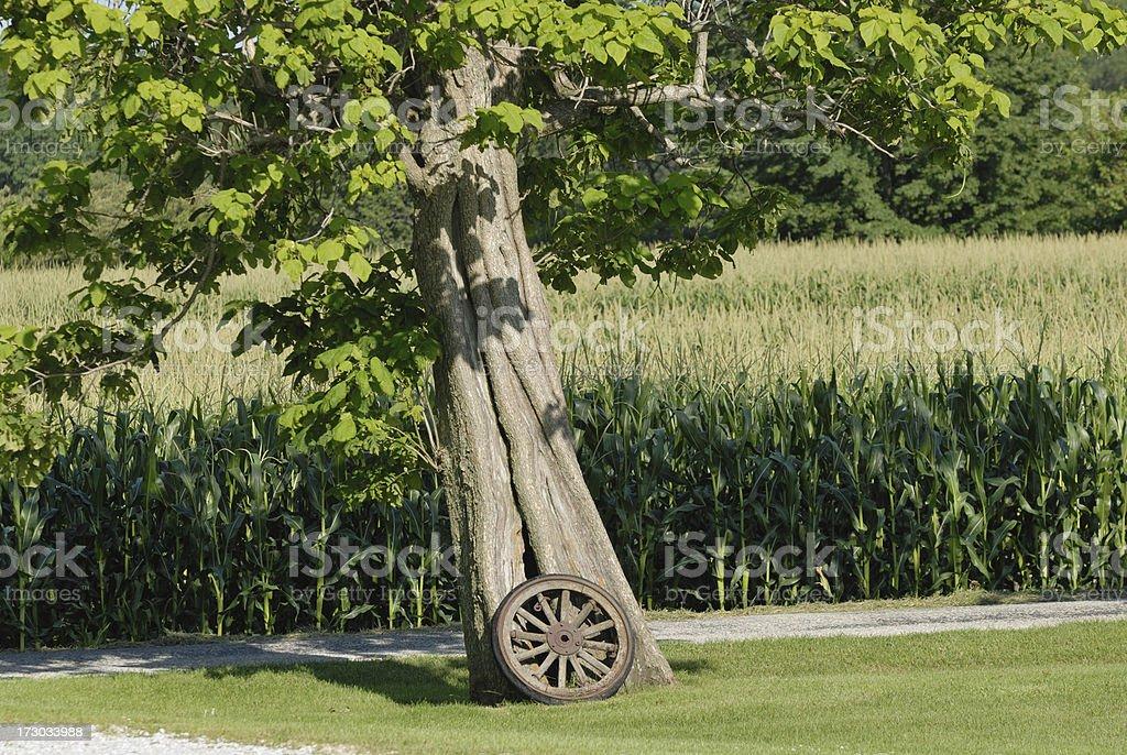 Catalpa Tree and Corn royalty-free stock photo