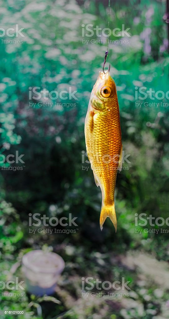 Catch a Golden fish on the hook stock photo