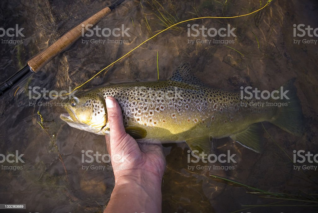 Catch and Release Trout in River Closeup stock photo