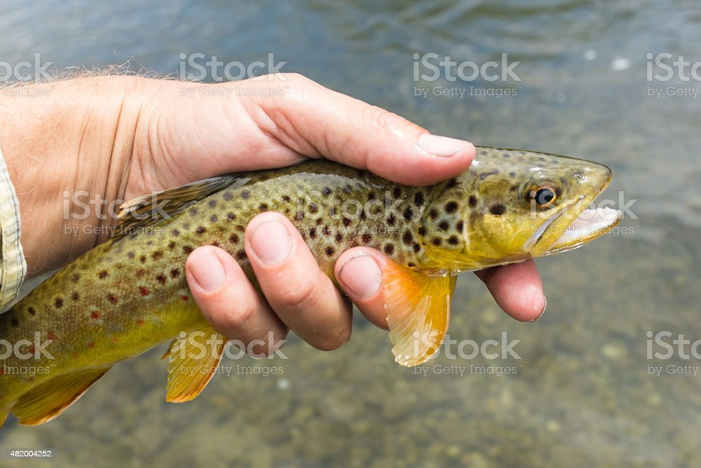 Catch n Release Trout stock photo