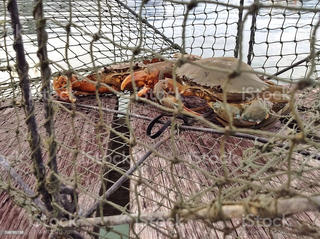 Catch of mud crab stock photo