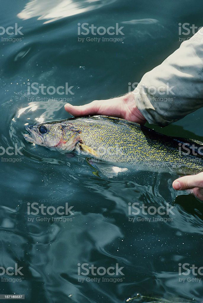 Catch & Release royalty-free stock photo
