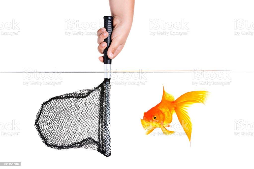 Catch the goldfish royalty-free stock photo