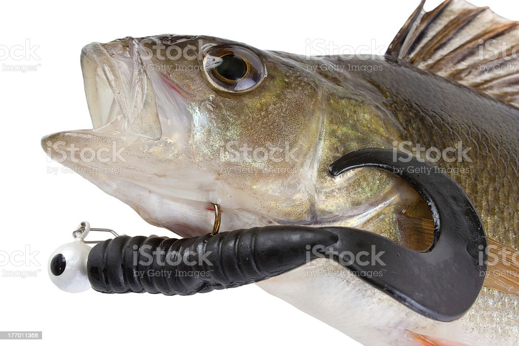 Catched fish royalty-free stock photo