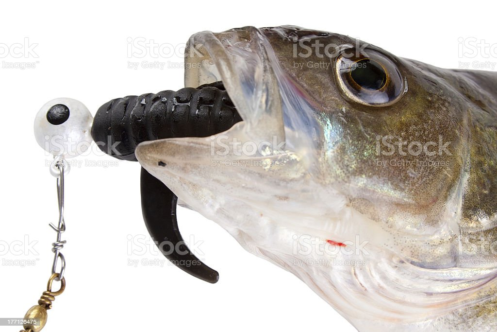 Catched perch and fishing lure royalty-free stock photo