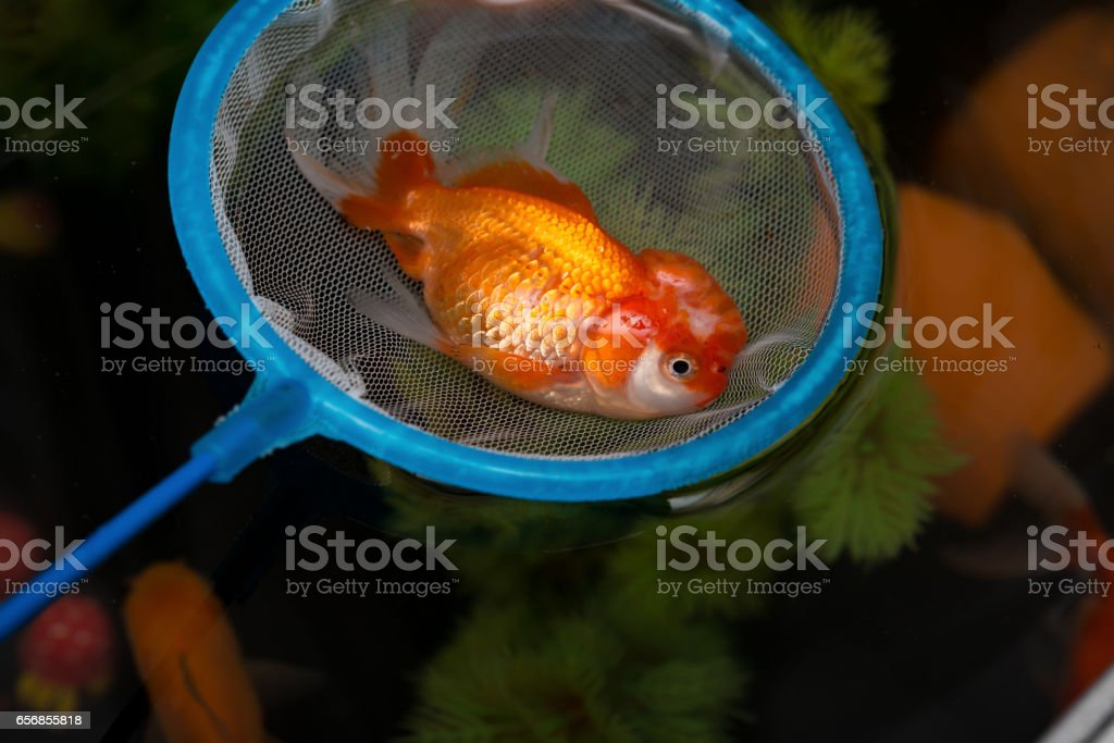 catching a dead gold fish floating on top stock photo