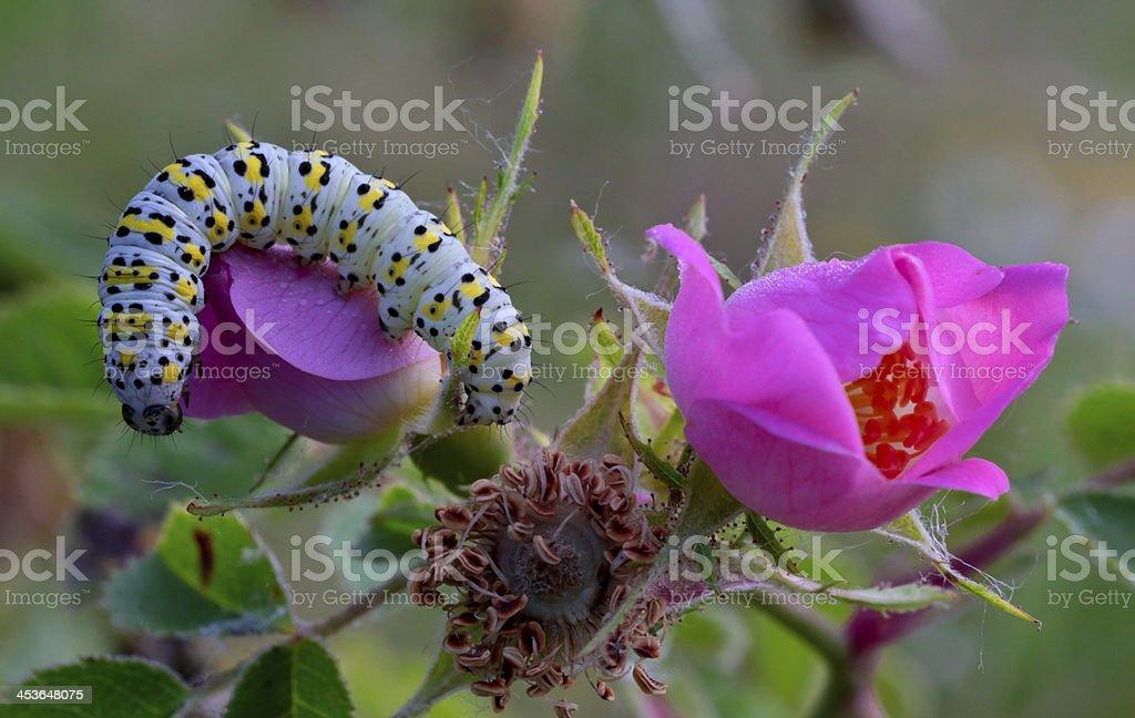 Caterpillar close up royalty-free stock photo