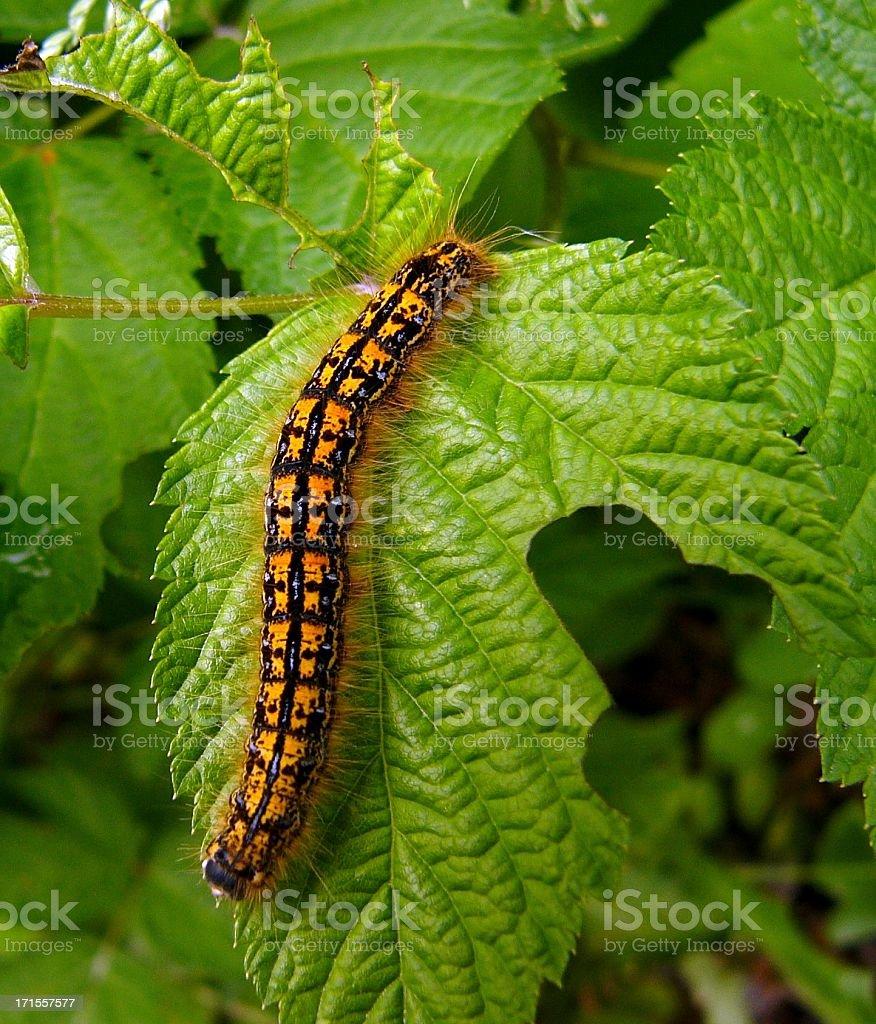 Caterpillar Closeup royalty-free stock photo
