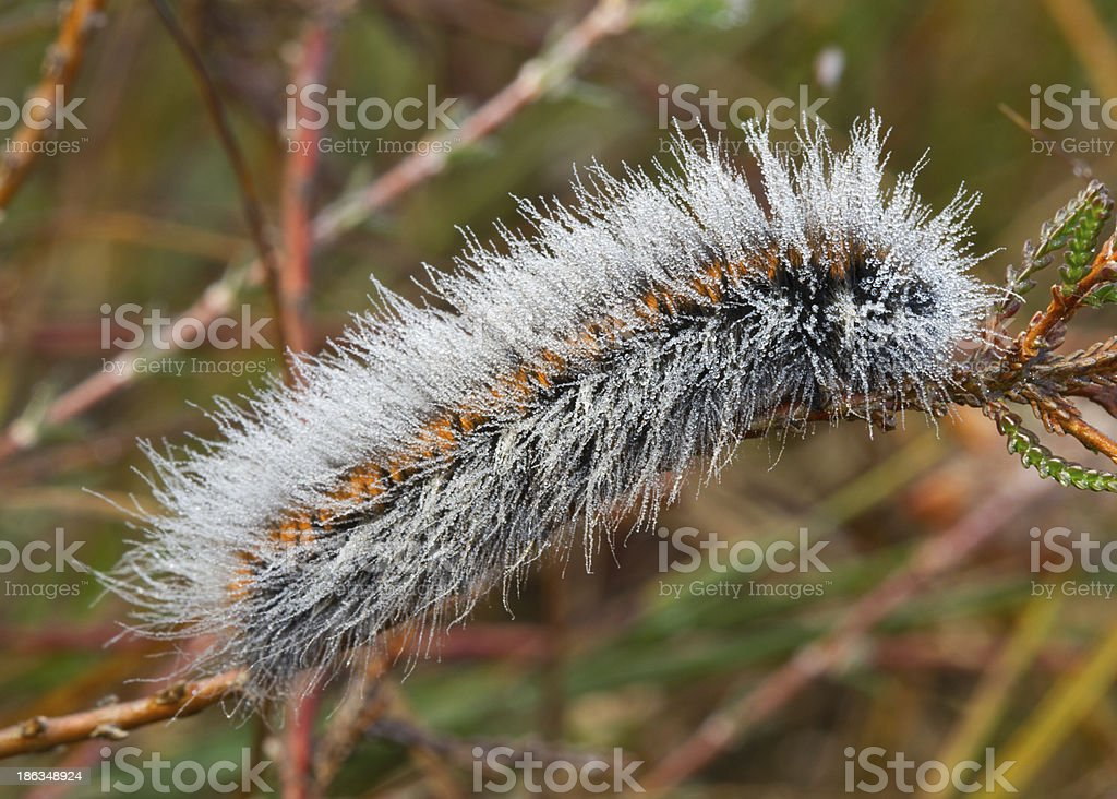 Caterpillar covered with dew drops stock photo