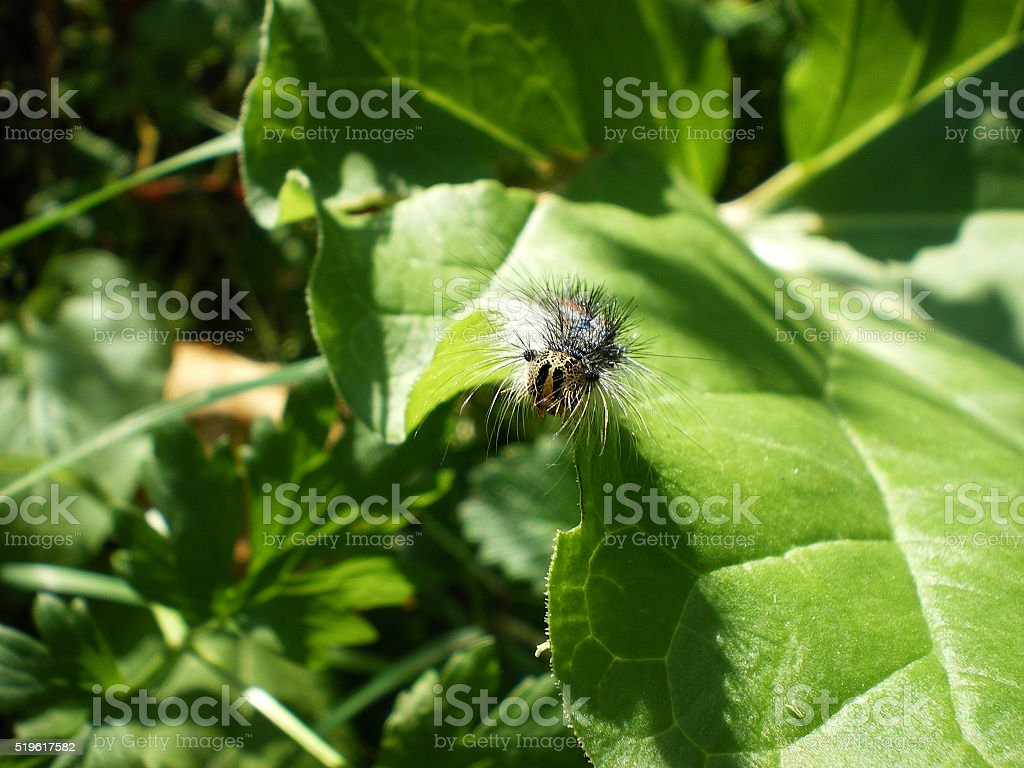 Caterpillar crawling on green leaf stock photo