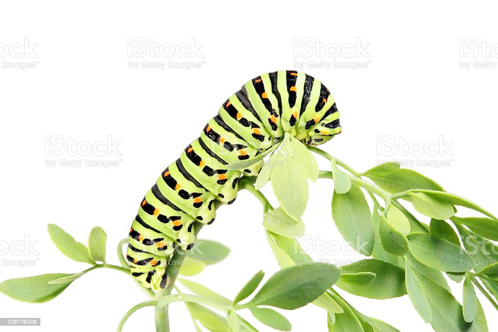 Caterpillar Crawling Plant Leaves, Isolated on White stock photo