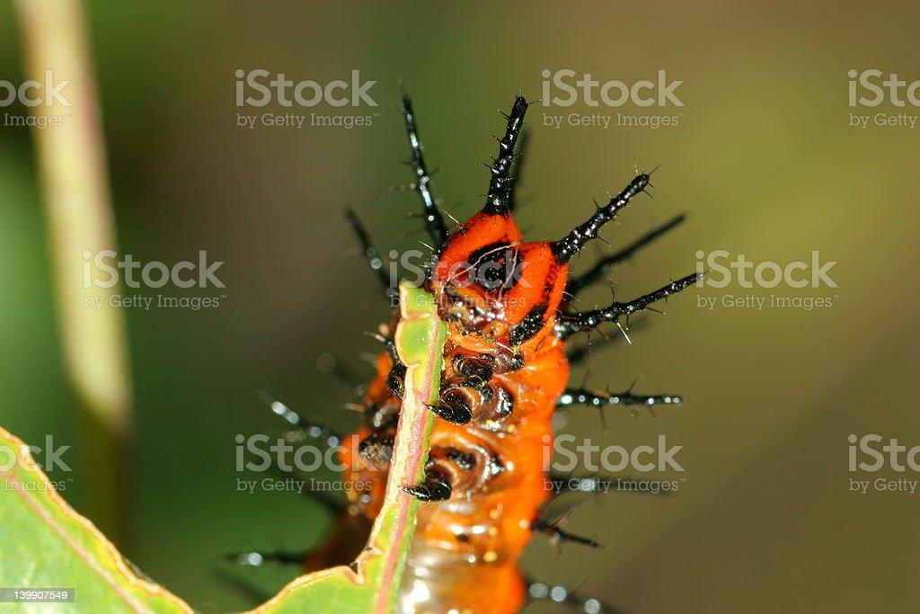 Caterpillar comer hoja foto de stock libre de derechos