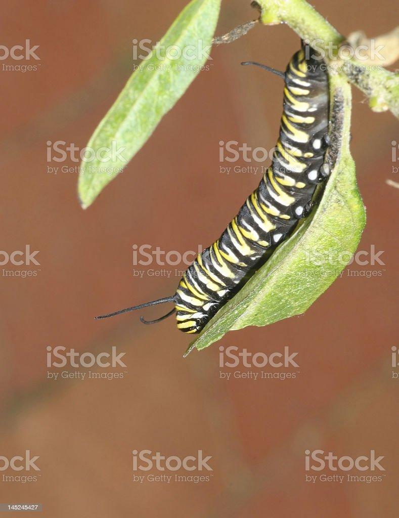 Caterpillar lactancia en una hoja foto de stock libre de derechos