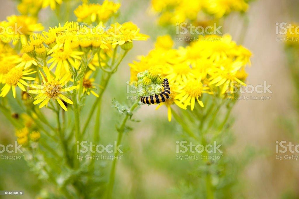 caterpillar feeding on ragwort plant stock photo