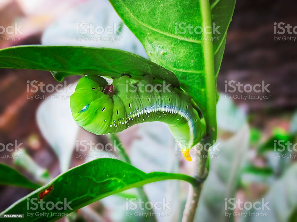 Caterpillar green cobra in Macro. stock photo