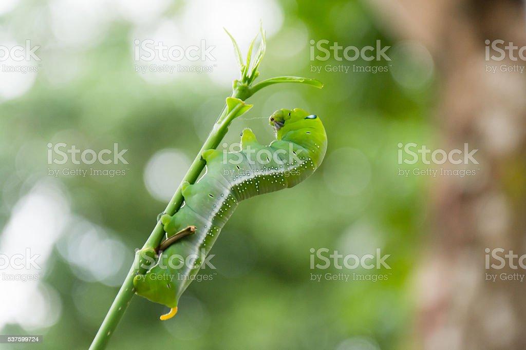 caterpillar green eating stock photo
