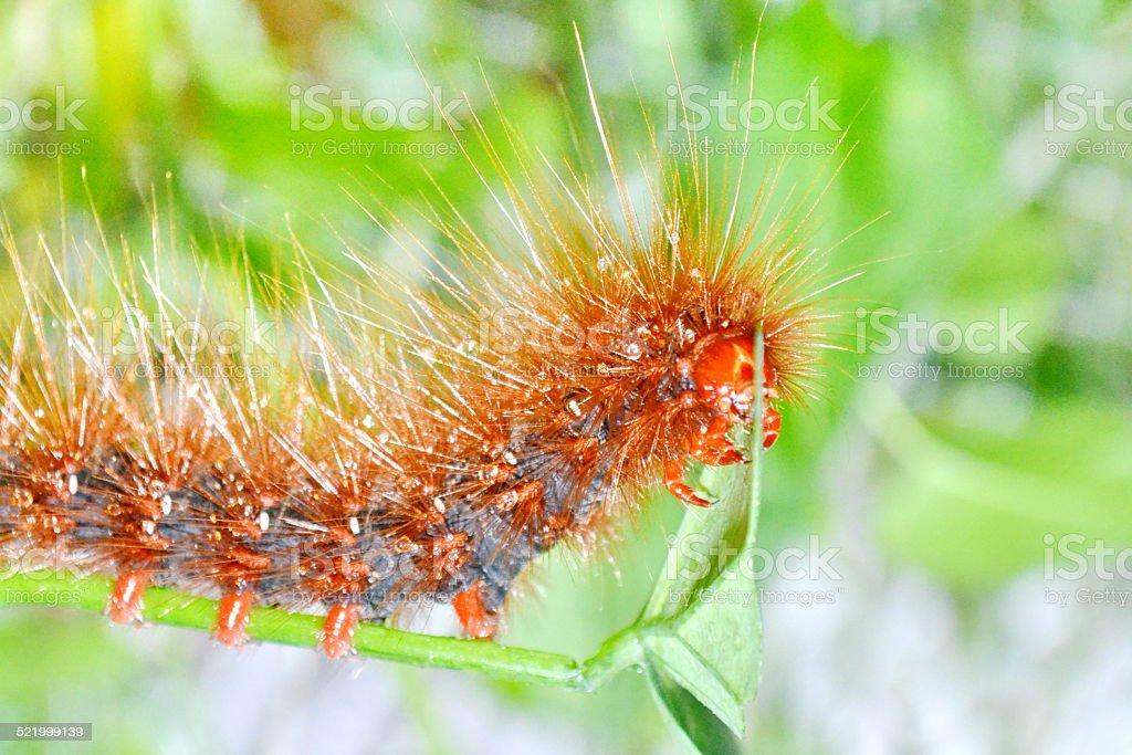 Caterpillar.  Hairy caterpillar stock photo