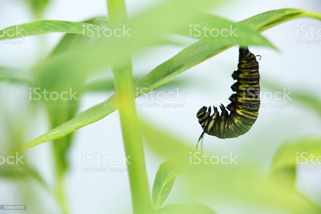Caterpillar Hanging from a Leaf to Cocoon stock photo