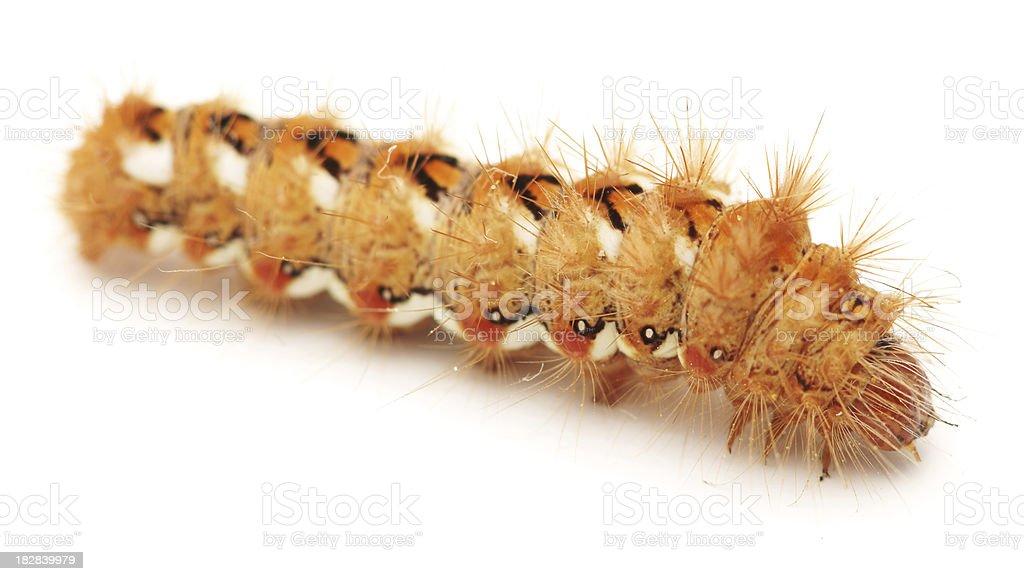 Caterpillar isolated on white stock photo