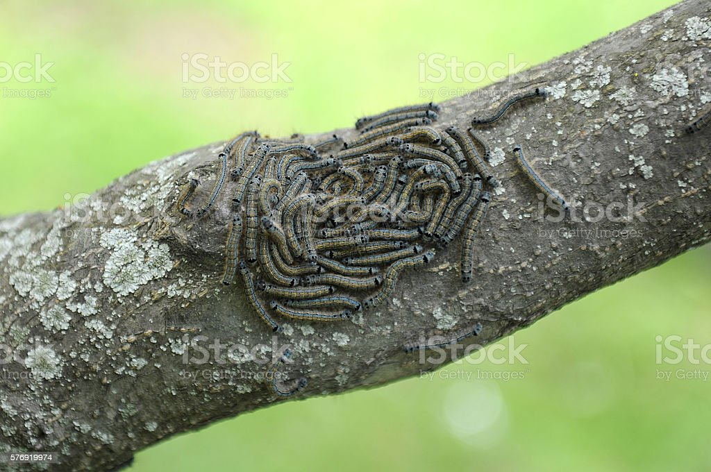 caterpillar lackey moth cluster on tree stock photo