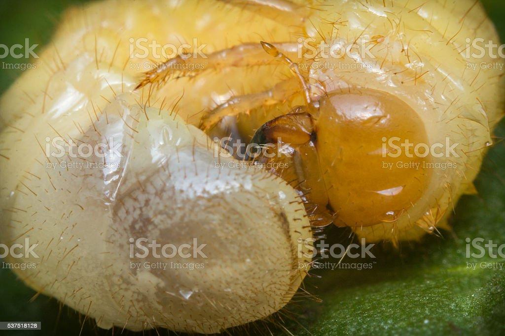 Caterpillar Maggot Mealworm stock photo