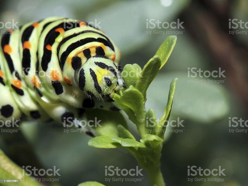 Caterpillar meal stock photo