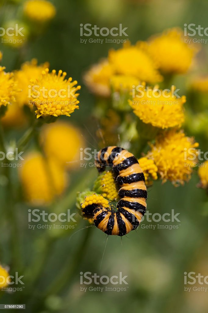 Caterpillar of a cinnabar moth stock photo
