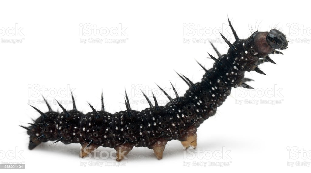 Caterpillar of a Peacock butterfly, Inachis io, stock photo