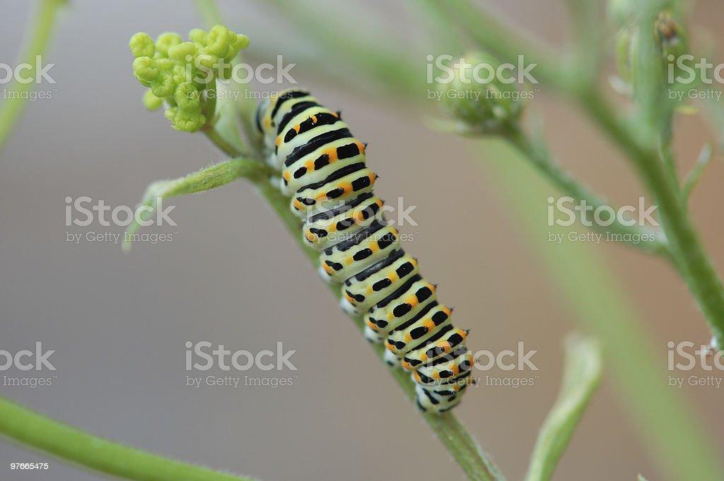 Caterpillar of a Swallowtail Butterfly stock photo